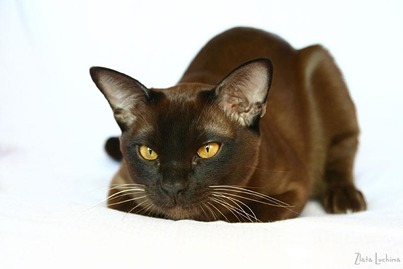 ТАНАКА. .  БУРМА. .  Бурманские кошки, бурманские котята - ФОТОГАЛЕРЕЯ - Асканио - 7 месяцев.