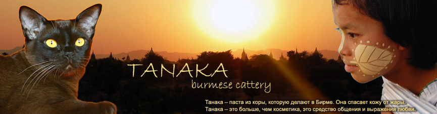ТАНАКА. БУРМА. Бурманские кошки, бурманские котята